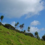 Ti-kouka (cabbage trees) marching up to Lookout Point 2012