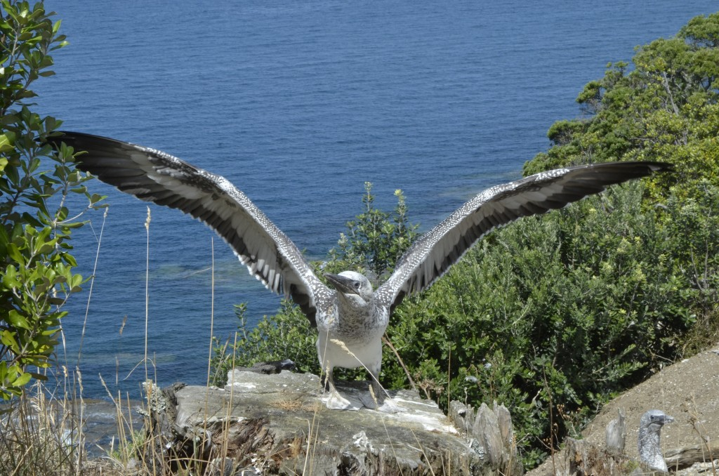 Juvenile gannet flexing wings. Only days away from fledging