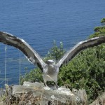 Juvenile gannet flexing wings. Only days away from fledging.jpg