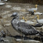 One of first juvenile gannets to survive on Motuora