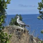 Motuora Juvenile gannet
