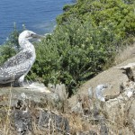 1st Juvenile gannets on Motuora (head of 2nd lower left)