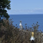 Second of two juvenile gannets on Motuora