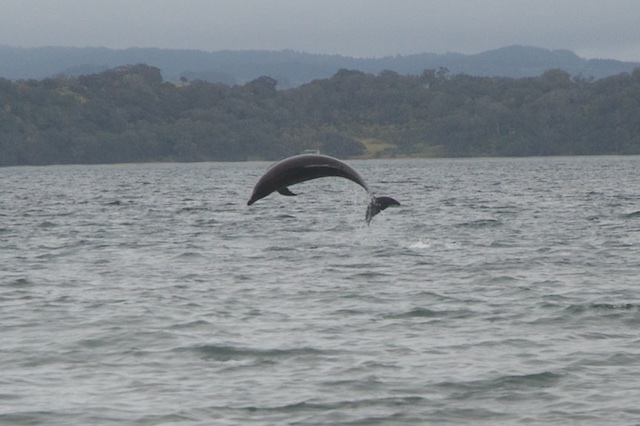 Dolphins off Home Bay, Motuora Dolphins off Home Bay, Motuora