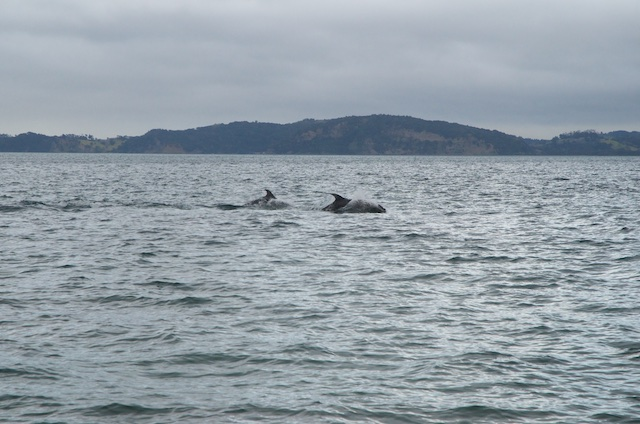 Dolphins off beach at Motuora Dolphins off Home Bay, Motuora