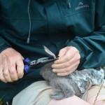 Banding the first fluttering shearwater to hatch on Motuora
