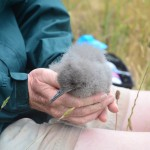 The first fluttering shearwater to hatch on Motuora one month old.